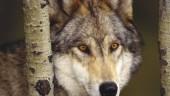 vista previa del artículo Turismo con lobos
