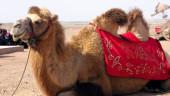 vista previa del artículo El camino de Santiago a lomo de… camellos