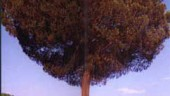 vista previa del artículo La Tierra de Pinares, curiosidades de una comarca histórica y de excelentes producciones